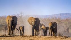 African bush elephant in Kruger national park,South Africa ; Specie Loxodonta africana family of Elephantidae