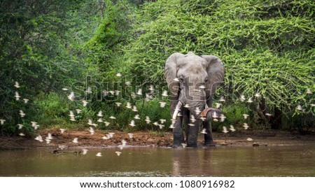 African bush elephant in Kruger national park, South Africa ; Specie Loxodonta africana family of Elephantidae #1080916982
