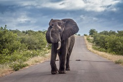 African bush elephant in middle of safari road in Kruger National park, South Africa ; Specie Loxodonta africana family of Elephantidae