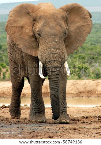 African Bush Elephant (Loxodonta africana) Bull  in aggressive pose - Addo National Park, South Africa