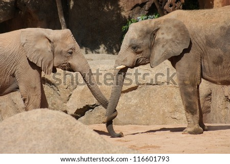African Bush Elephant - Loxodonta africana - Love in the air