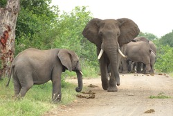 African bush elephant (Loxodonta africana) South Africa, JAR, Kruger National Park