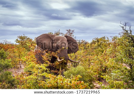 African bush elephant walking in fall color bush in Kruger National park, South Africa ; Specie Loxodonta africana family of Elephantidae Stock photo ©