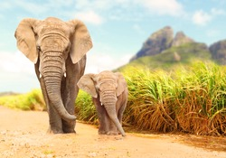African Bush Elephants - Loxodonta africana family walking on the road in wildlife reserve. Greeting from Africa.