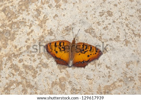 African butterfly