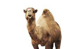 african camel isolated on white background.