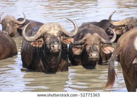 African cape buffalo bathing