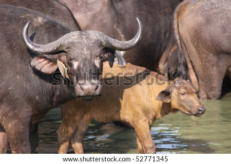 African cape buffalo cow and calf