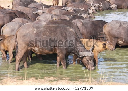 African cape buffalo drinking