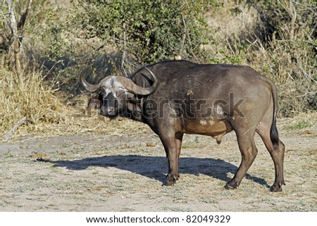 african cape buffalo in Kruger