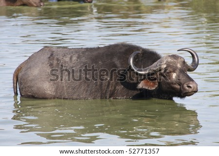 African cape buffalo in water