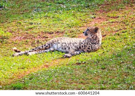 African Cheetah (Acinonyx jubatus) in the grass #600641204