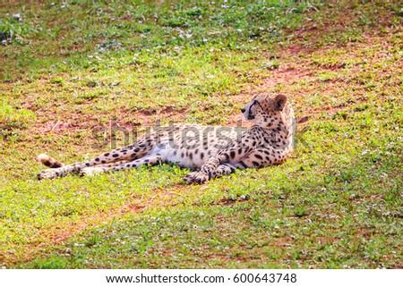 African Cheetah (Acinonyx jubatus) in the grass #600643748