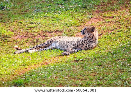 African Cheetah (Acinonyx jubatus) in the grass #600645881
