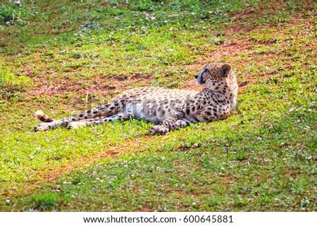 African Cheetah (Acinonyx jubatus) in the grass #600645881