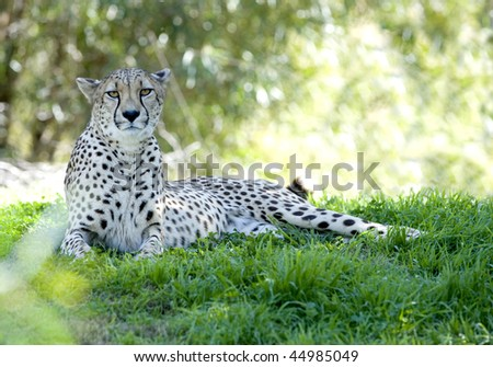 african cheetah adult female in shade under tree looking at camera
