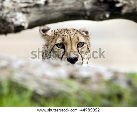 african cheetah adult male sitting behind fallen tree looking at camera, maasai mara, africa