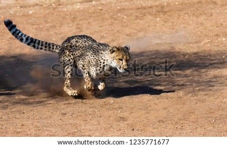 African Cheetah in Namibia.