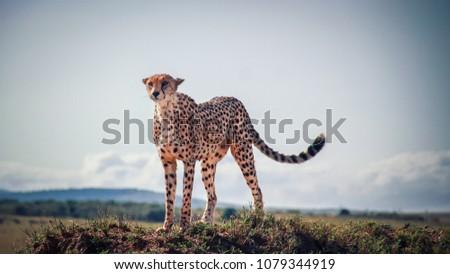 African cheetah in the Masai Mara grasslands #1079344919