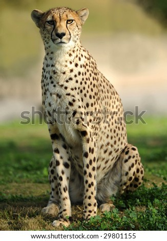 african cheetah, masai mara, africa. sitting on savannah grass looking at camera. full frame predator feline similar leopard