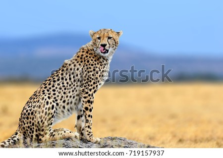African cheetah, Masai Mara National Park, Kenya, Africa. Cat in nature habitat. Greeting of cats #719157937
