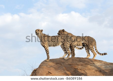African Cheetah searching for prey