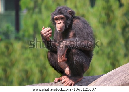 African chimpanzee at Indian wildlife sanctuary. Chimps among all apes are closest to humans in behavioral traits. They are considered most intelligent of all primates.