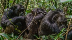 African Chimpanzee in Kibale Forest