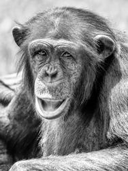 African Chimpanzee Portrait