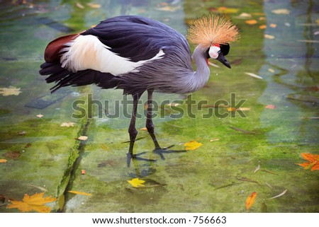 African Crown Crane - some noise