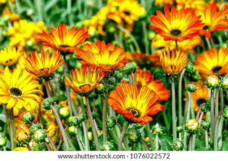 Free Photos Colourful Daisy Flowers Background Daisy Is A Flower Of
