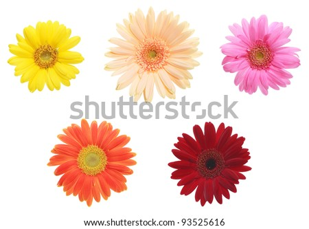 African daisy 5 colors