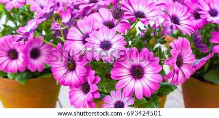 African daisy, Osteospermum. Purple flowering terrace and garden plant.