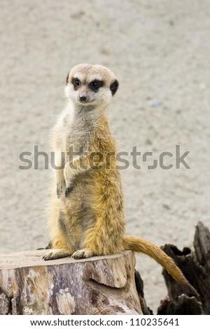 african desert animal