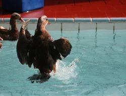 African Duck at Gelanggang Samudera Ancol
