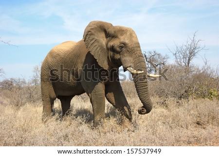 African Elephant Stock photo ©
