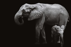 African elephant and baby elephant,black and white