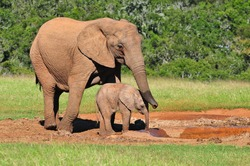 African Elephant and calf at watering hole