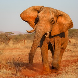 African elephant approaching while angry