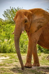 African elephant are one of two species of elephants.  They are herbivores.  They are critically endangered and are hunted for their tusks.
