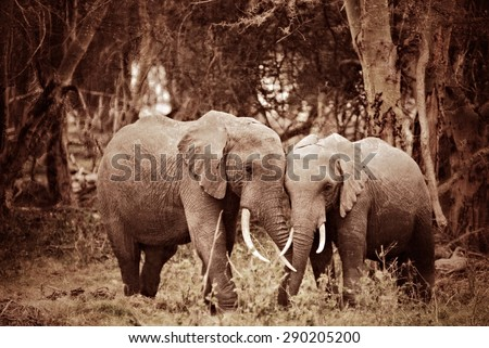african elephant are standing...