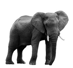 African elephant at the zoo, isolated on white background