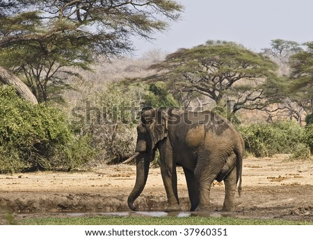 African elephant at water hole in Chobe National Park, Botswana