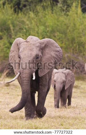 African Elephant & Baby
