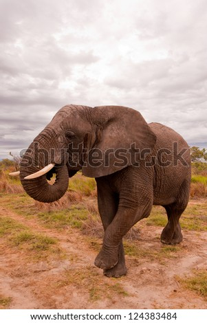 African Elephant Balancing