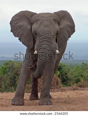 African Elephant bull leaning to one side at Spekboom Waterhole, Addo Elephant National Park, South Africa