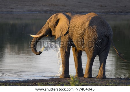 African Elephant Bull (Loxodonta africana) drinking water, South Africa
