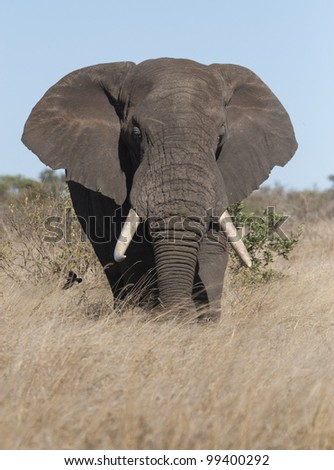 African Elephant Bull (Loxodonta africana), South Africa - stock photo