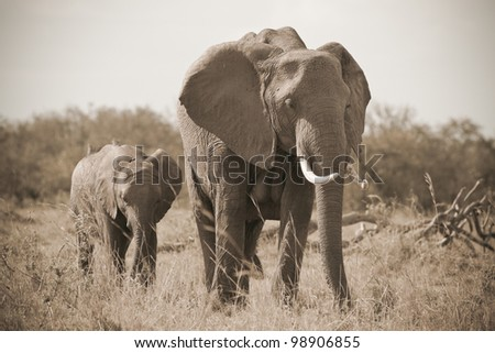 African elephant calf with mother in masai mara