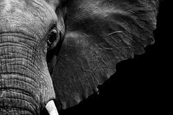 African elephant close-up in textured black and white processed